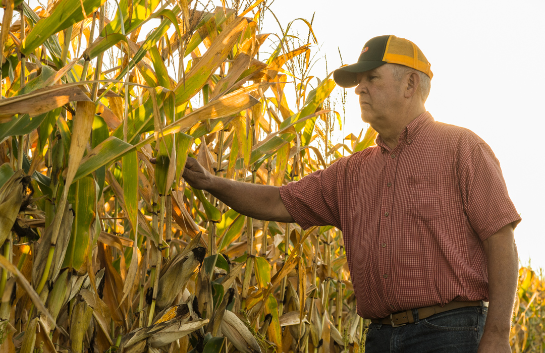 DEKALB® farmer walking in field inspecting corn during growing season