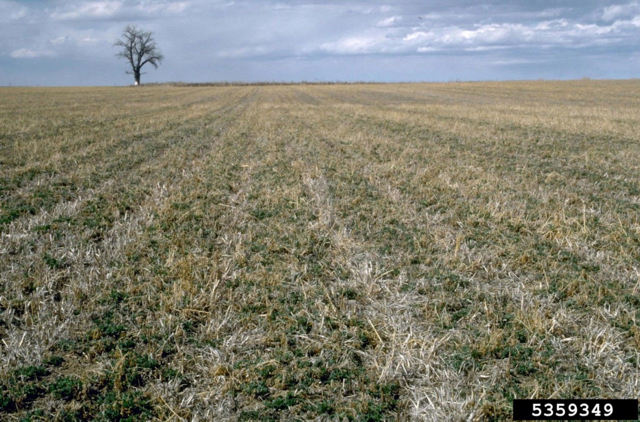 Figure 1. Alfalfa field breaking dormancy in the spring.