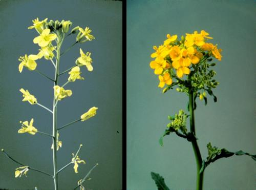 Figure 1. Flowers of Brassica napus and Brassica rapa. (Courtesy of the Canola Council of Canada)