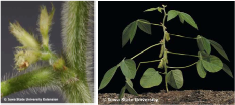 Figure 1. Left - Soybean plant during beginning pod (R3) growth stage. Right - Soybean pods during the full pod (R4) growth stage.