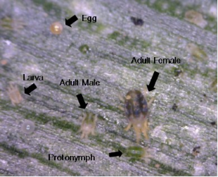 Banks grass mite egg, larva, protonymph, an adult female, and an adult male. Photo courtesy of Dr. Ed Bynum, Texas A&M AgriLife Extension.