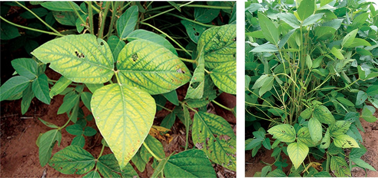 Figure 9. Manganese deficiency, photo courtesy of Dr. Bobby Golden, Mississippi State University.