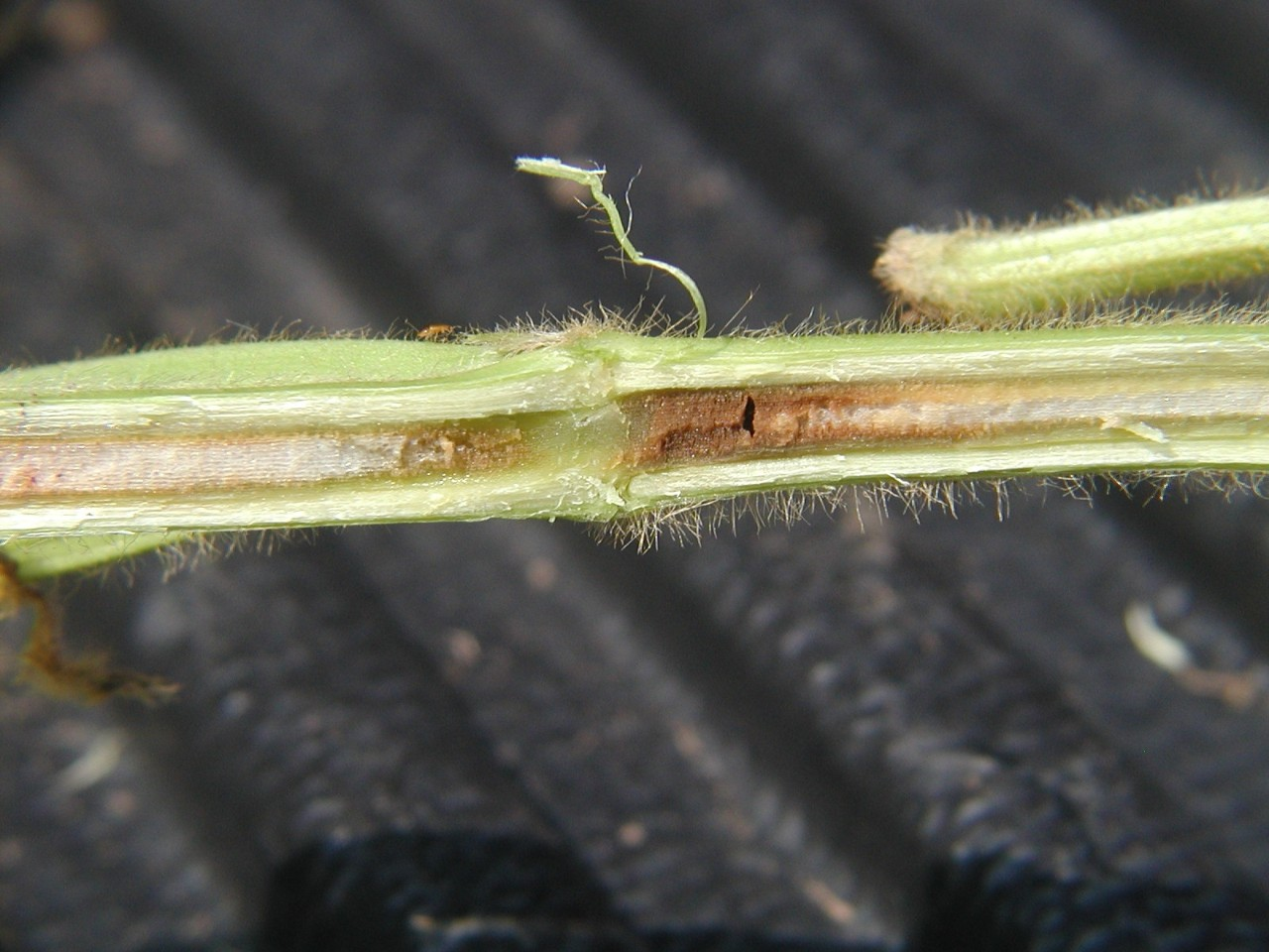 Figure 12. Brown Stem Rot.