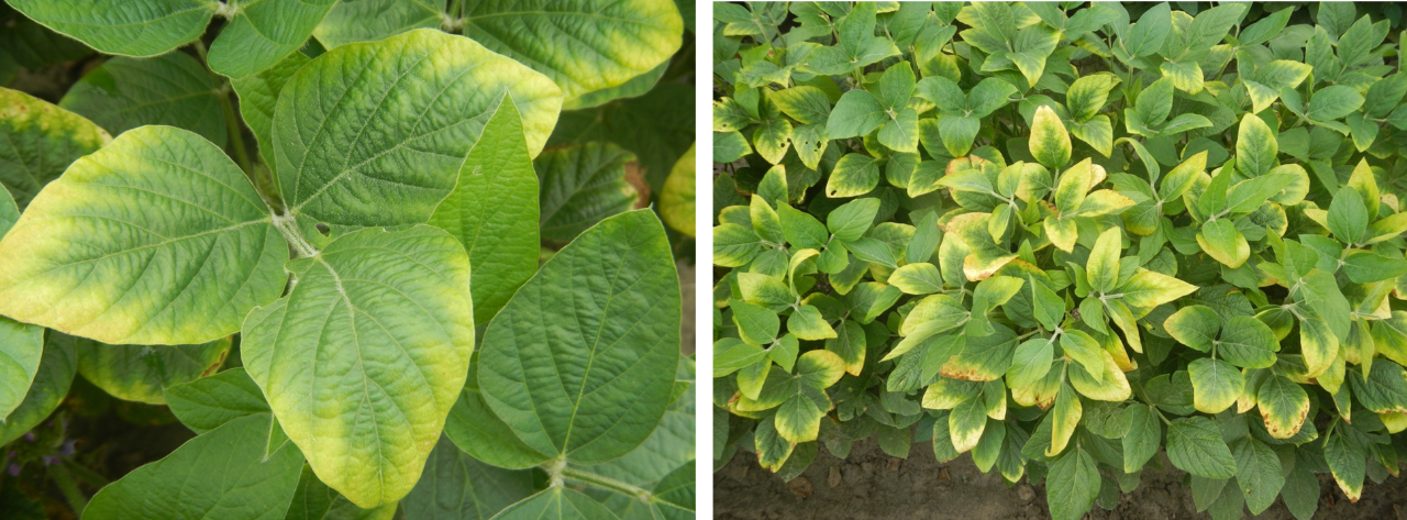 Figure 3. Potassium deficiency. Photos courtesy of Dr. Bobby Golden, Mississippi State University.