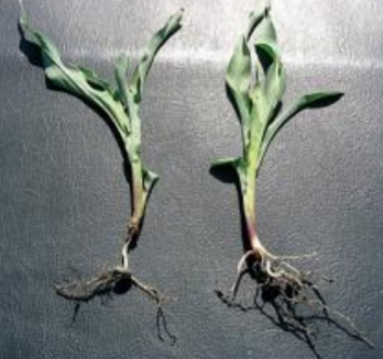 Figure 1.  Rootless corn (left) compared to corn with more normal nodal root development (right).