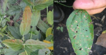 Photo: Cercospora leaf blight (left) and frogeye leaf spot (right).