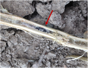 Figure 2. White mold sclerotia located inside a split soybean stem.