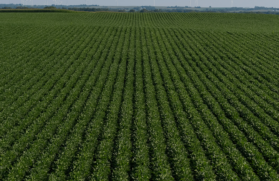 Asgrow® soybean field with XtendFlex® soybeans at growing season
