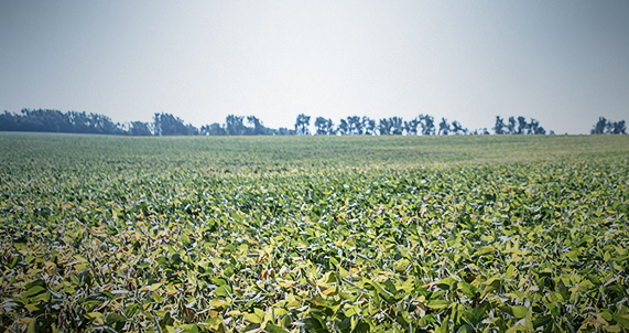 Asgrow® soybean field with herbicides