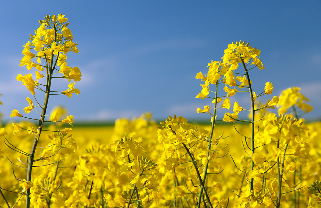 DEKALB® Products Canola