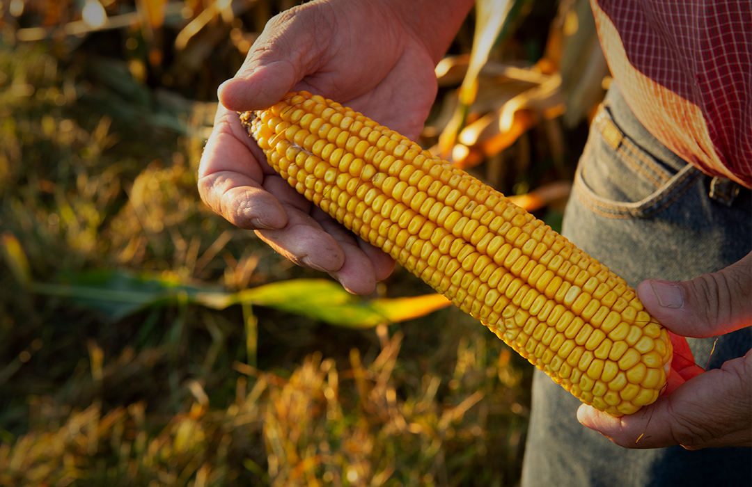 DEKALB® farmer holding ear of corn