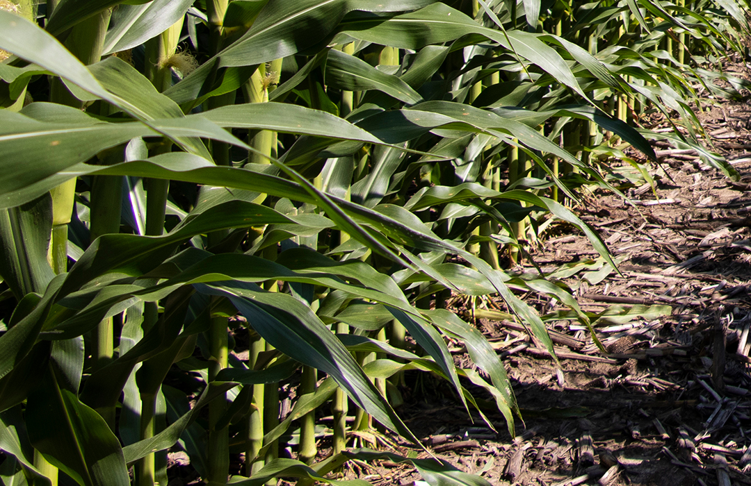 DEKALB® corn stalks up close during growing season