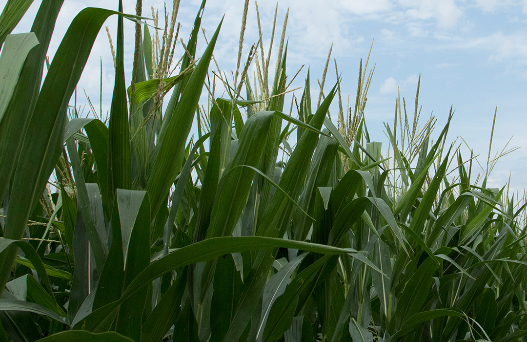 DEKALB® tall corn stalks during late season