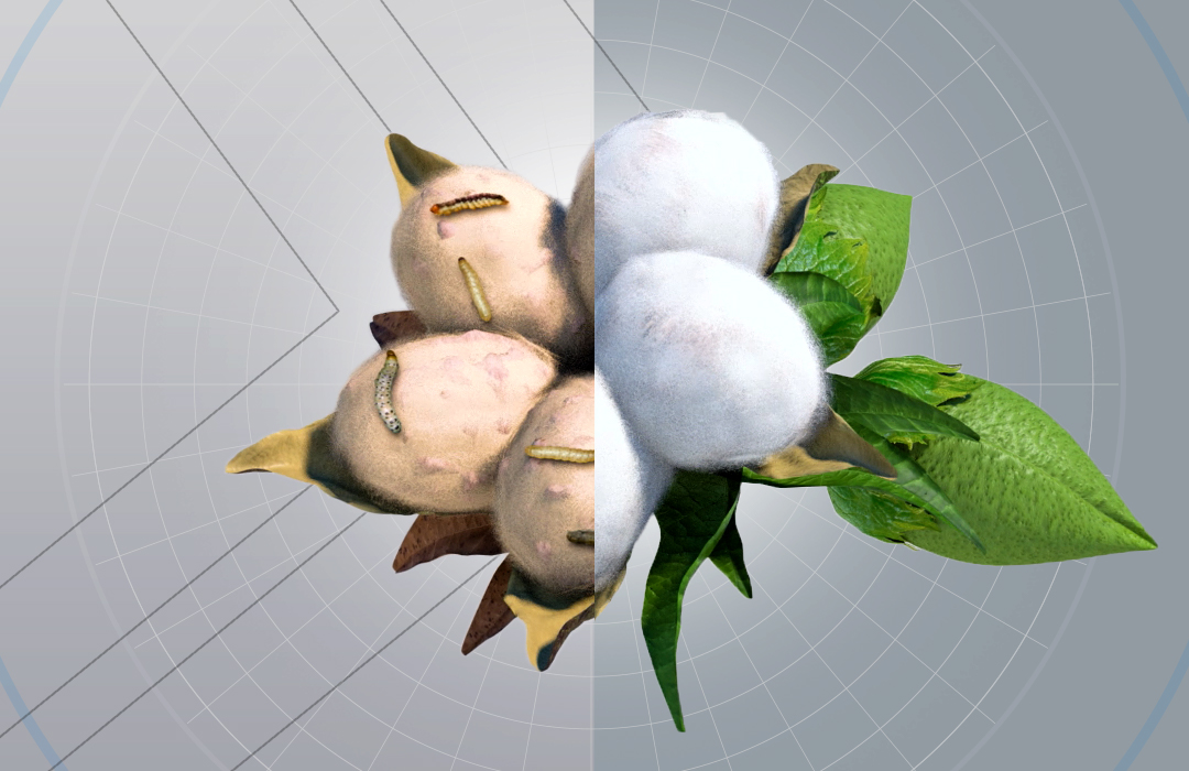 Deltapine cotton without using trait technology versus using trait technology