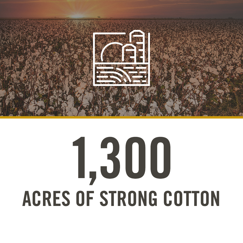 1300 acres of strong cotton